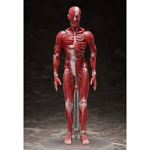 Figma Human Anatomical Model [Figma SP-142]